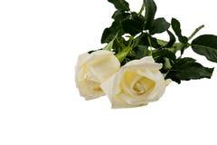 Dwa biel róża odizolowywająca na białym tle Obrazy Stock