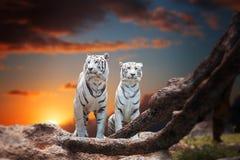 Dwa biel tygrysi obsiadanie na skale Fotografia Royalty Free