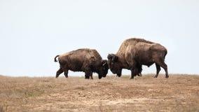 Dwa bizonów dziki walczyć Fotografia Royalty Free