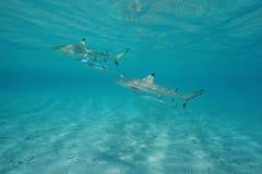 Dwa blacktip rafowego rekinu z podnawkami podwodnymi Zdjęcie Stock