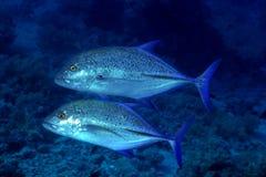 Dwa Bluefin trevally obrazy royalty free