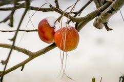 Dwa Bożenarodzeniowego jabłka zakrywającego z śniegiem fotografia royalty free
