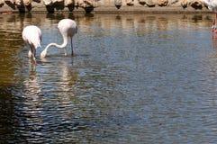Dwa bociana w jeziorze Obraz Stock
