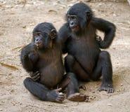 Dwa Bonobos siedzą na ziemi republiki demokratycznej congo Lola Ya BONOBO park narodowy Zdjęcia Royalty Free