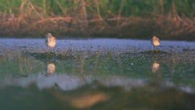 Dwa brodzów stojak w ranku bagnie z odbiciem w wodzie zbiory wideo