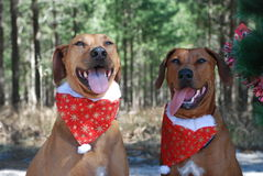 Dwa brown boże narodzenie psa Obraz Stock