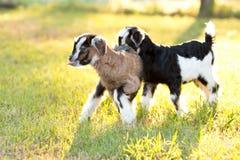 Dwa brown, czarny i biały dziecko dzieciaka kózki w trawiastej łące z Zdjęcia Stock