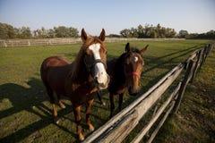 Dwa brown koń w rancho Zdjęcie Royalty Free