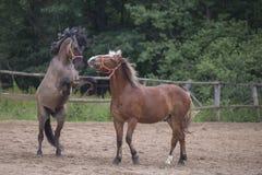 Dwa brown konia obrazy royalty free