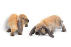 Dwa brown królik Zdjęcia Stock