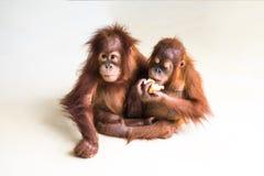 Dwa brown orangutan na gładkim tle Fotografia Royalty Free