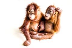 Dwa brown orangutan na gładkim tle Obrazy Royalty Free