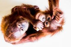 Dwa brown orangutan odgórny widok Zdjęcie Royalty Free