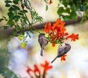 Dwa brown ptaka siedzi na gałąź Zdjęcia Royalty Free