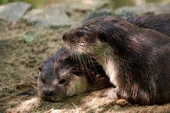 Dwa brown wydry obraz royalty free