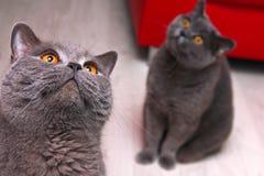 Dwa Brytyjskiego kota patrzeje zupełnie głupi zdjęcia stock