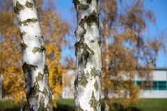 Dwa brzozy drzewa Obrazy Royalty Free
