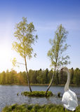 Dwa brzozy drzewa r na małej wyspie, spojrzeniach przy losem angeles po środku na ląd i lasowego jeziora i łabędź w trawie Zdjęcia Stock