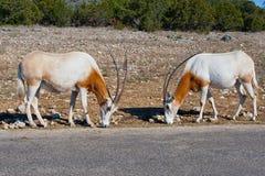 Dwa bułata oryx zwierzęcia Zdjęcie Stock