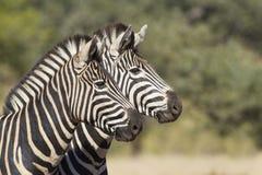 Dwa Burchells zebra, Południowa Afryka Zdjęcie Royalty Free