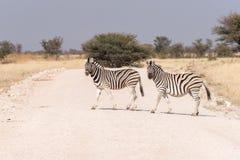 Dwa Burchells zebry krzyżuje drogę Jeden zebra jest ciężarna Fotografia Royalty Free