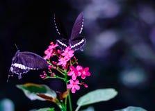 DWA BUTTRLFLIES NA CZERWONYCH kwiatach zdjęcia stock