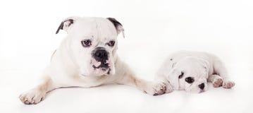 Dwa byka psa kłama w studiu Fotografia Royalty Free