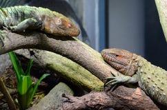 Dwa caiman jaszczurki Zdjęcie Stock