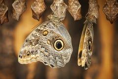 Dwa Caligo eurilochus strona side_Bananenfalter obraz stock