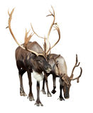 Dwa caribou fotografia royalty free