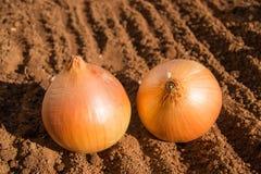 Dwa cebuli na ziemi Zdjęcia Stock