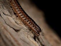 Dwa centipedes na drzewnej barkentynie Zdjęcia Royalty Free