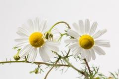 Dwa Chamomile kwiat Obrazy Royalty Free