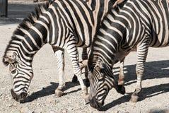 Dwa Chapmans zebry (Equus kwaga chapmani) Obrazy Stock