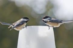 Dwa Chickadees Nakrywam opowiadać (Poecile atricapillus) Fotografia Royalty Free