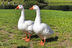 Dwa ciekawego bliźniaczego gąsiątka blisko jeziora fotografia royalty free