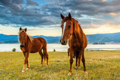 Dwa ciekawego konia patrzeje ciebie Zdjęcie Stock