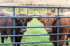 Dwa ciekawej górskiej szkockiej kosmatej czerwonej krowy ono wpatruje się przy wypasem Obrazy Royalty Free