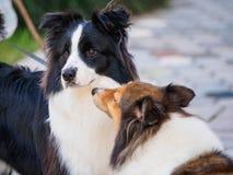 Dwa collies bawić się outside, Shetland sheepdog wącha przy borde Zdjęcia Royalty Free