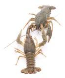Dwa crayfishes Zdjęcia Royalty Free