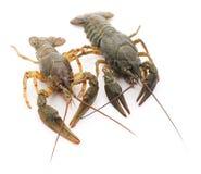 Dwa crayfishes Zdjęcia Stock
