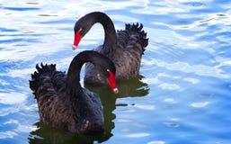 Dwa czarnego łabędź fotografia royalty free