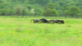 Dwa czarnego byka bieg w pustyni zbiory