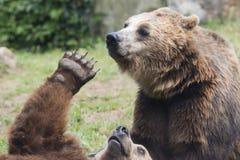 Dwa Czarnego grizzly niedźwiedzia podczas gdy walczący zdjęcia stock