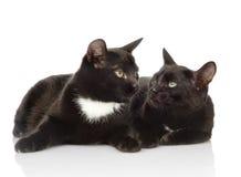 Dwa czarnego kota patrzeje each inny Odizolowywający na białym backgrou Zdjęcia Royalty Free