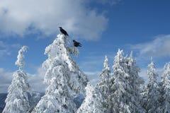 Dwa czarnego kruka na śniegu lub wrony zakrywali drzewa w zimy scenie na górze Psiej góry na górze Seymour obrazy stock