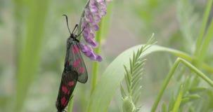 Dwa czarnego motyla matują na trzonie rośliny FS700 odyseja 7Q 4K zbiory