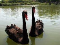Dwa czarny łabędź Obrazy Royalty Free