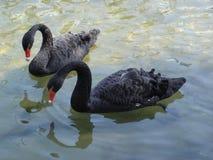 Dwa czarny łabędź na wodzie Obrazy Stock
