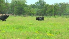 Dwa czarny byk w pustkowiu blisko gospodarstwa rolnego zbiory wideo